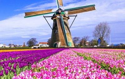 tulips-windmills