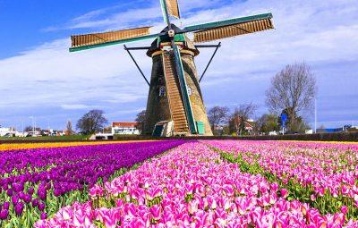 tulips-windmills