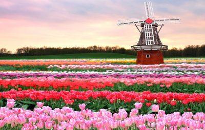 TulipsWindmill