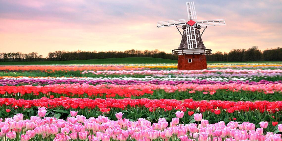 Tulips surround a Windmill